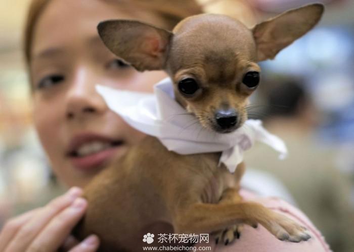 杂交茶杯犬与普通茶杯犬