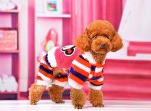 茶杯犬衣服