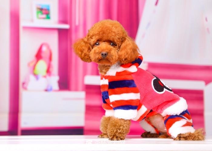 茶杯犬衣服(二)