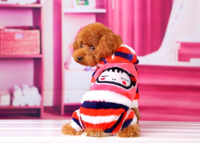 茶杯犬衣服(三)