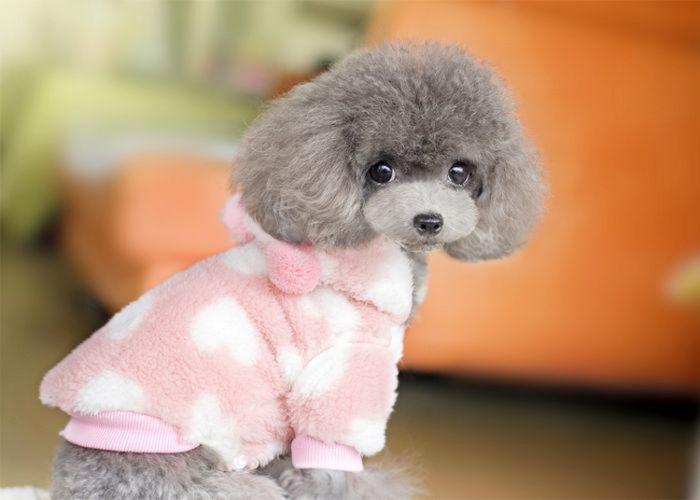 茶杯犬服装