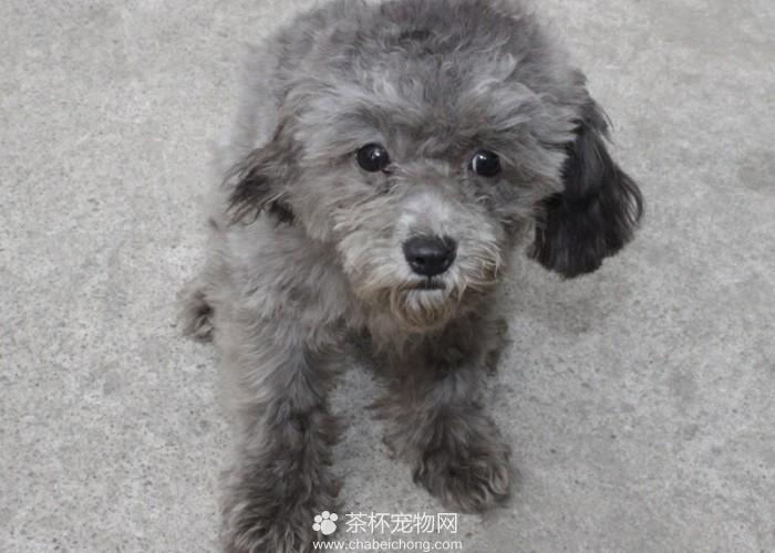 灰色泰迪犬