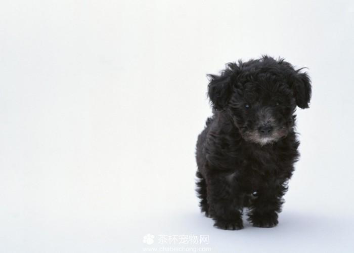 黑色泰迪犬