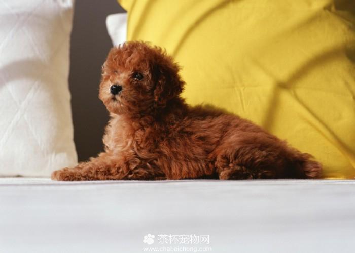 红色泰迪犬