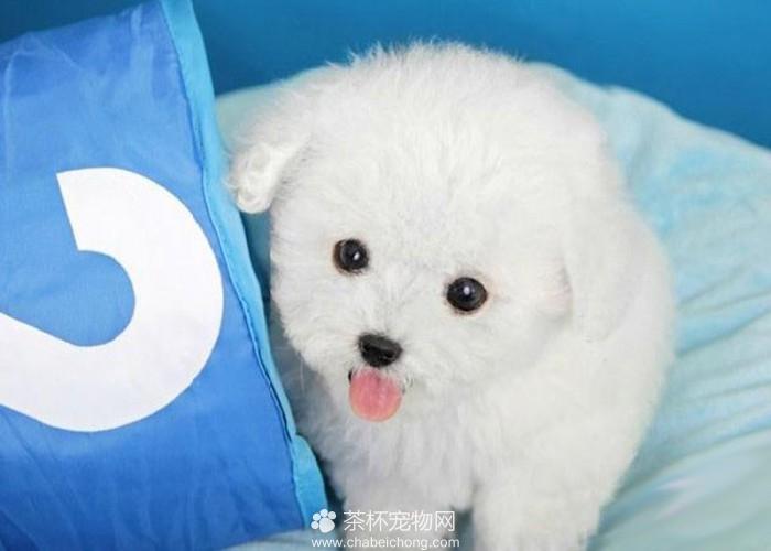 白色泰迪犬