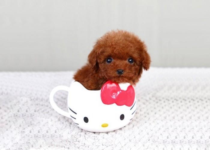 茶杯犬幼犬喂养