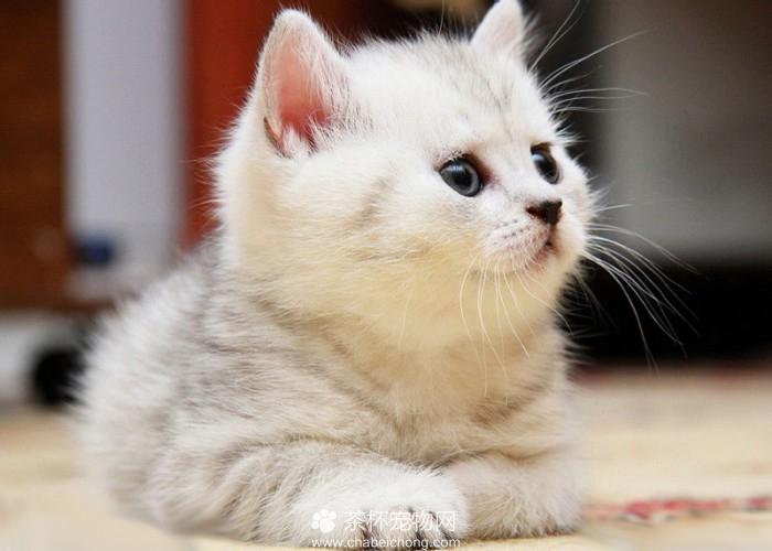 迷你猫如何护理