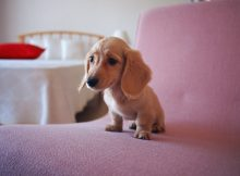 袖珍狗图片