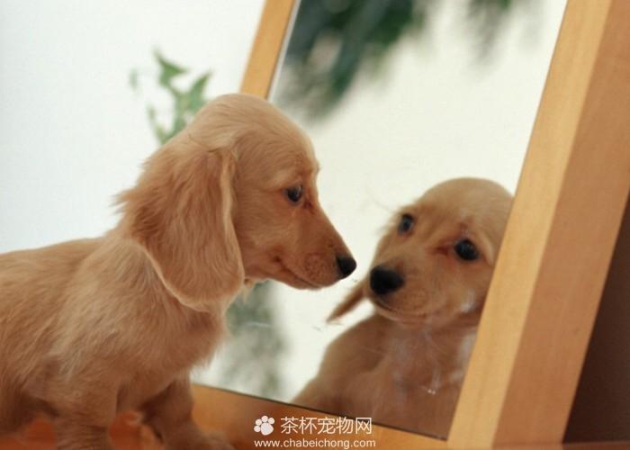 袖珍狗图片(三)
