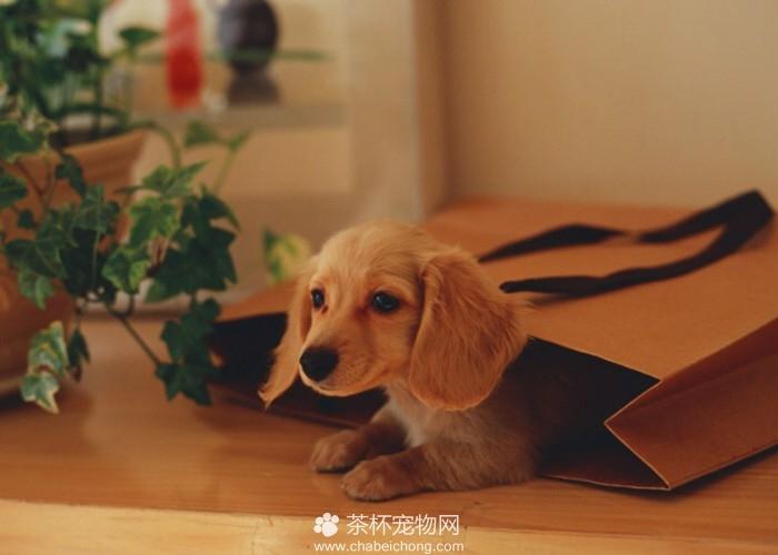 袖珍狗图片(四)
