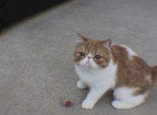 爱玩球的猫咪