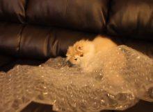 玩塑料袋的猫咪