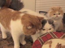 猫咪吃鸡腿
