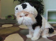 穿上熊猫衣服的猫咪