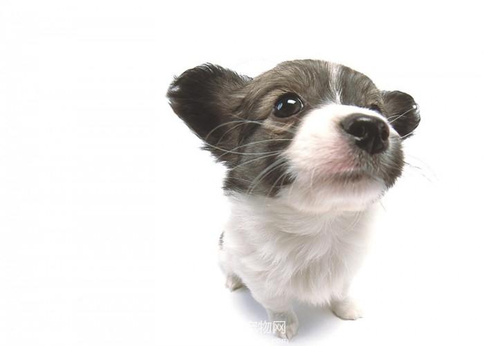 茶杯犬泰迪狗