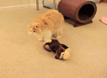 猫咪和他的玩具猴