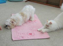 猫咪和狗狗一起训练