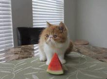 爱吃西瓜的猫咪
