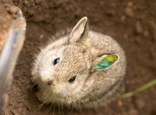 哥伦比亚盆地侏儒兔