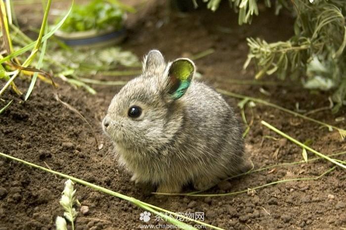 哥伦比亚盆地侏儒兔(二)