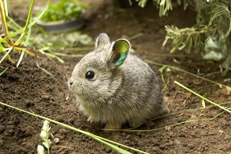 需要注意的是,有人说迷你垂耳兔有时会咬人,有的会咬拖鞋。这其是它的磨牙需要,家有养迷你垂耳兔的朋友,对可爱的垂耳兔多一些理解,也可以为它找一些合适迷你垂耳兔磨牙和咬的东西。 垂耳兔如果不是经常洗澡的话,它身上的味道比较大,所以就需要迷你垂耳兔的居住环境要卫生、干燥、通风的,这样一来可以散出兔子身上的味道,二来可以防止由环境潮湿、不卫生,引起的细菌滋生,最后造成迷你垂耳兔患有皮肤病或者其它身体疾病。 家里的迷你垂耳兔如何住的笼子是狗笼的话,应在笼子底部加一块木板给兔子垫脚用,否则兔子的脚掌比较薄,加之迷你垂