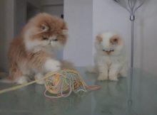 爱玩毛线的猫咪