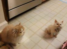 一群为了吃嚎叫的猫咪