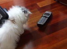 小猫玩电话