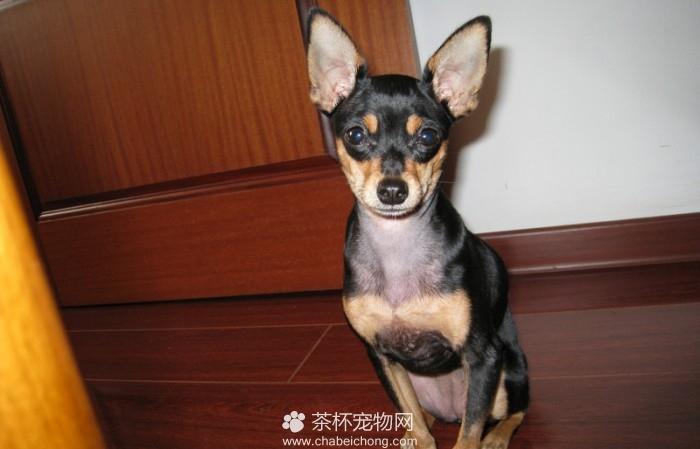 迷你袖珍小鹿犬(三)