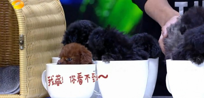 快乐大本营中的茶杯犬