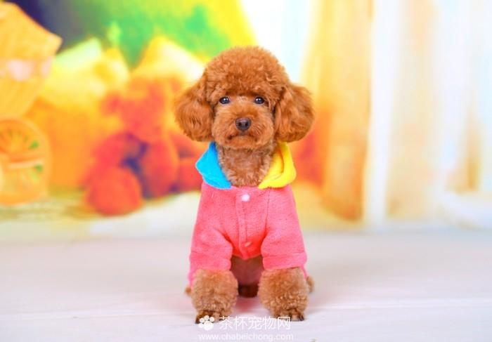 茶杯犬的衣服