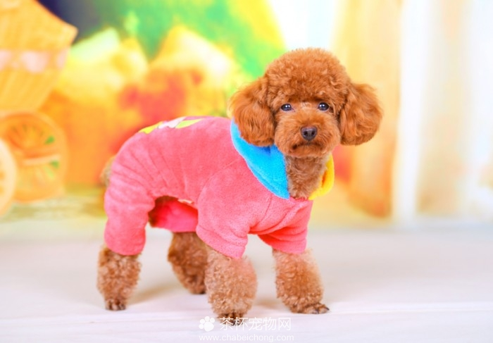 茶杯犬的衣服(二)