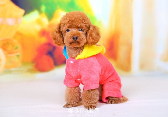 茶杯犬的衣服(三)