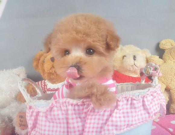 茶杯犬Cookie