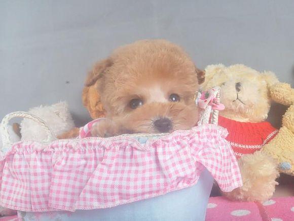 茶杯犬Cookie(二)