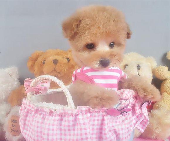 茶杯犬Cookie(三)