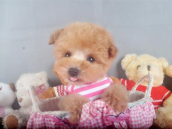 茶杯犬Cookie(四)