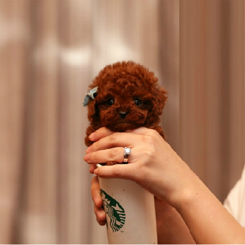 可爱的茶杯犬