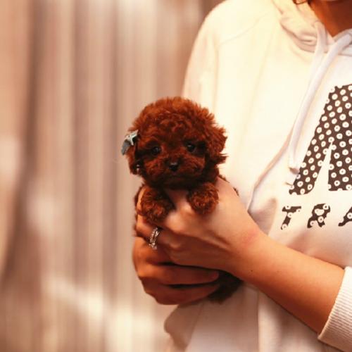可爱的茶杯犬(二)