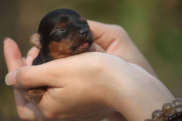 刚出生的茶杯犬