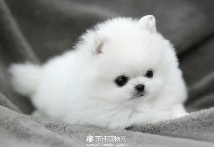 世界上最小的袖珍狗
