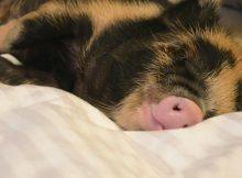 要睡觉了的小香猪