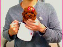 茶杯犬茶杯泰迪