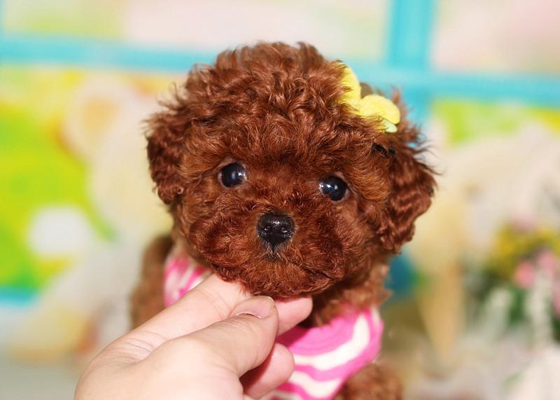 971622266_可爱的茶杯犬图片 - 茶杯宠物网
