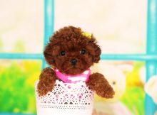 可爱的茶杯犬图片(三)