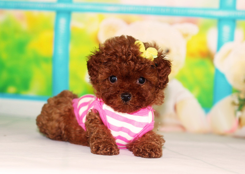 971622266_可爱的茶杯犬图片 可爱的茶杯犬图片(二) 可爱的 ...