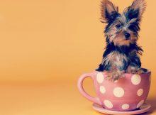 茶杯犬购买