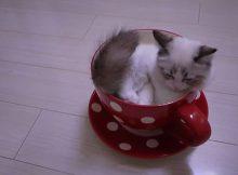 茶杯猫是如何诞生
