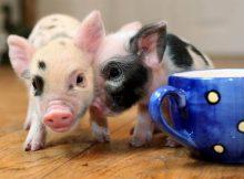 英国茶杯猪