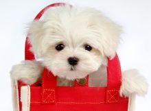 茶杯犬容易生气吗